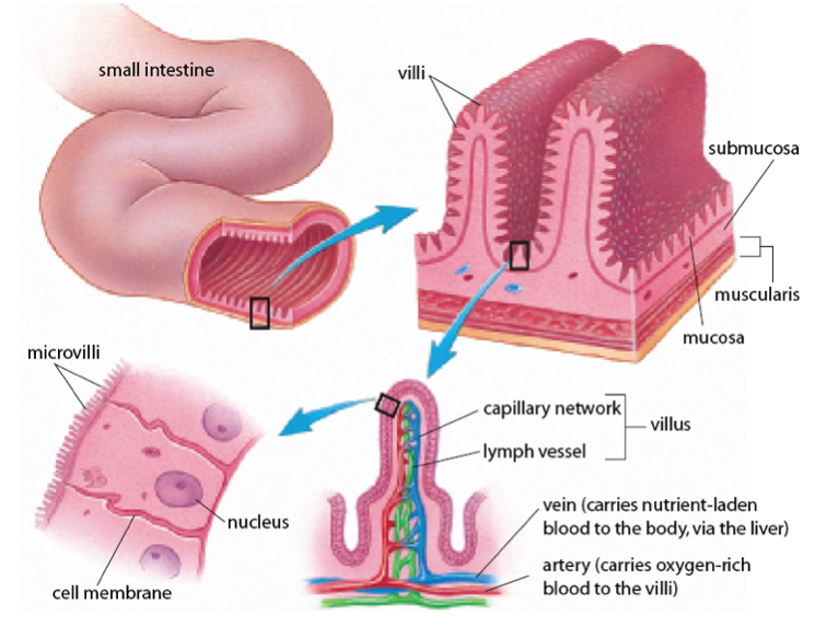 small intestine - digestive system, Human Body